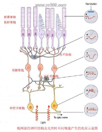 视锥细胞承担昼光觉,对物体的空间分辨能力强